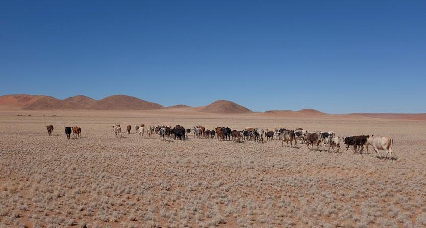 Rinderfarm an der Straße D707 Namibia