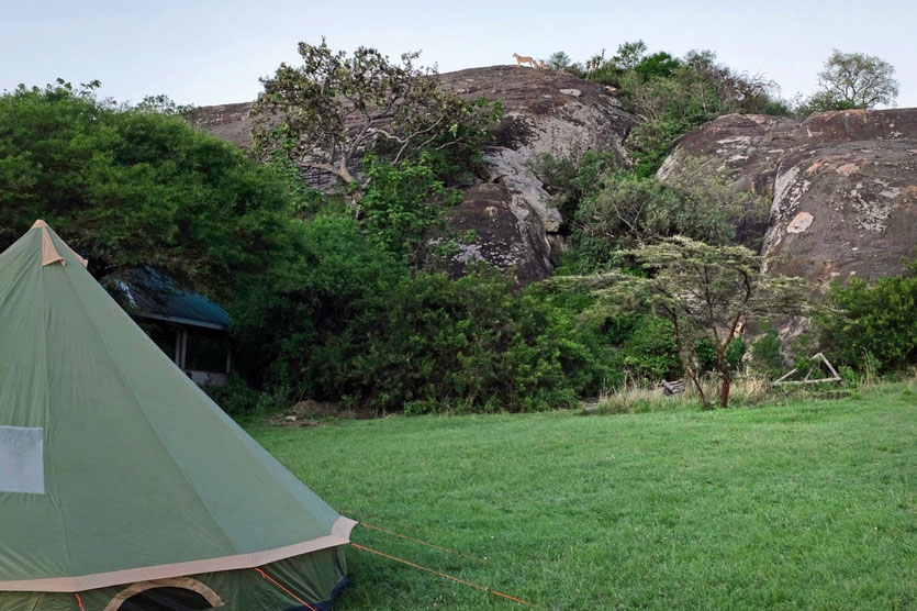 Lobo public Campsite Serengeti loins