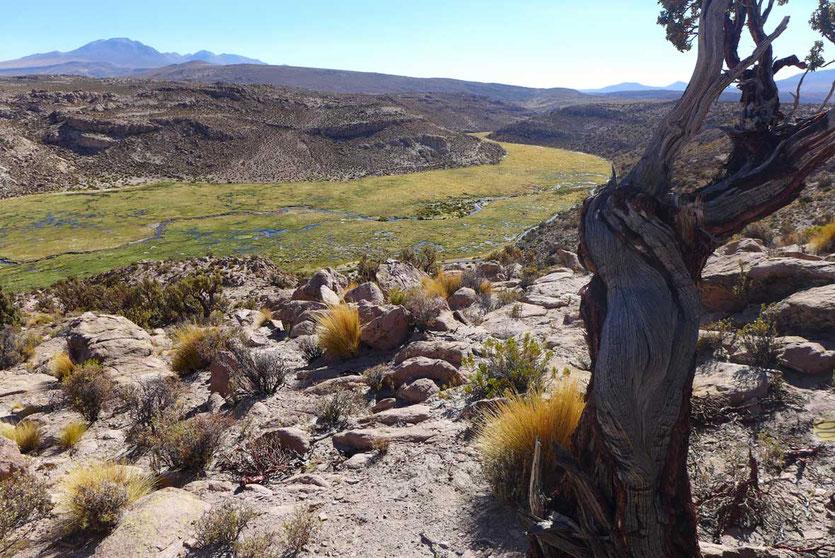 Grüne Bofedales im Volcán Isluga Nationalpark Chile