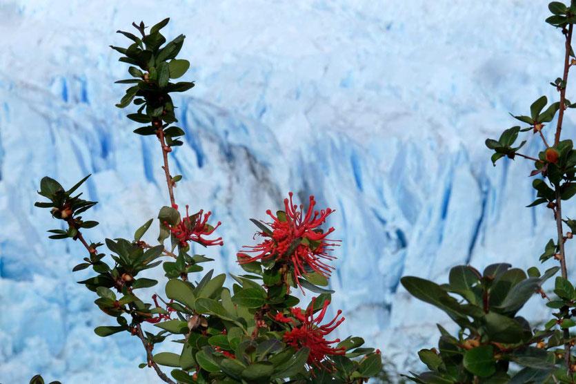 Rot blühender Feuerbusch vor dem Gletscher Perito Moreno