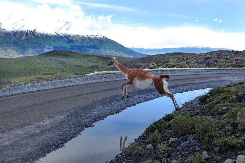 Guanaco auf Straße Torres del Paine