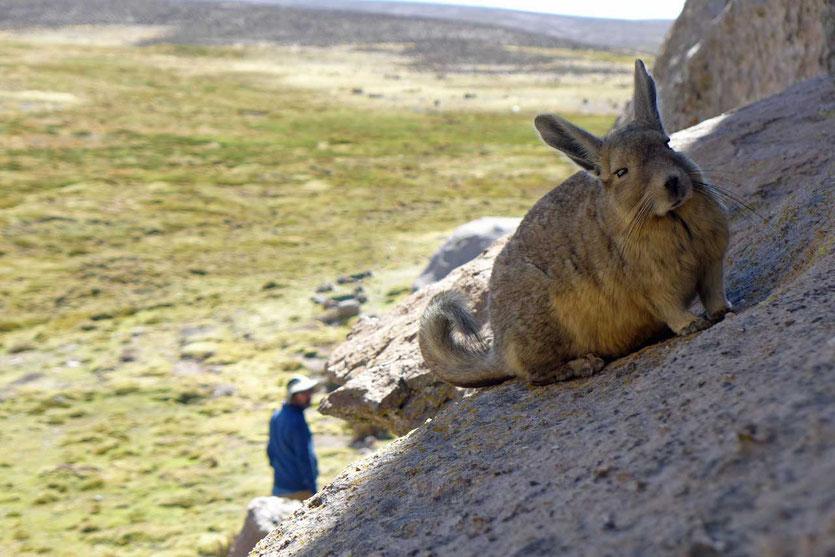 Viscacha im Bofedal de las Cuevas Chile