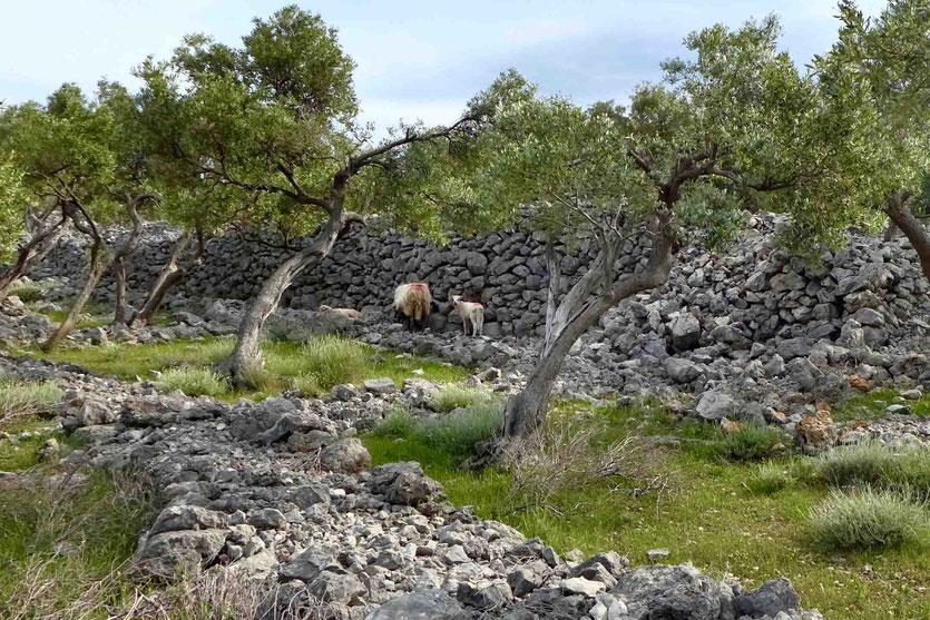 WIlde Schafe von Cres, Kroatien