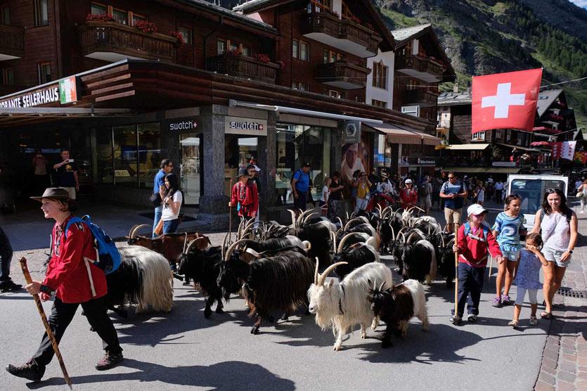 Täglich ziehen die Schwarzhalsziehen durch die Bahnhofstrasse Zermatt