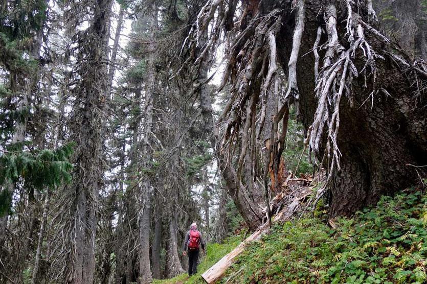 Durch mächtigen Nadelwald auf dem Wonderland Trail zwischen White River Campground und Sunrise, Mt. Rainier National Park