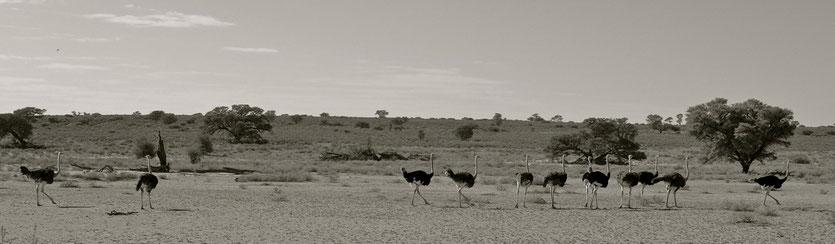 Strauße Kgalagadi Transfrontier Park