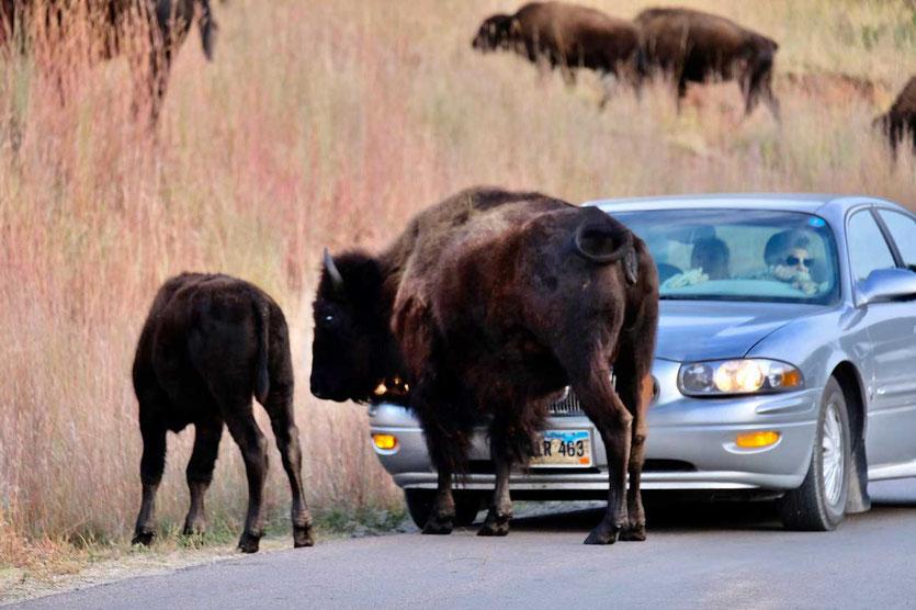 Bison Autostau im Custer State Park