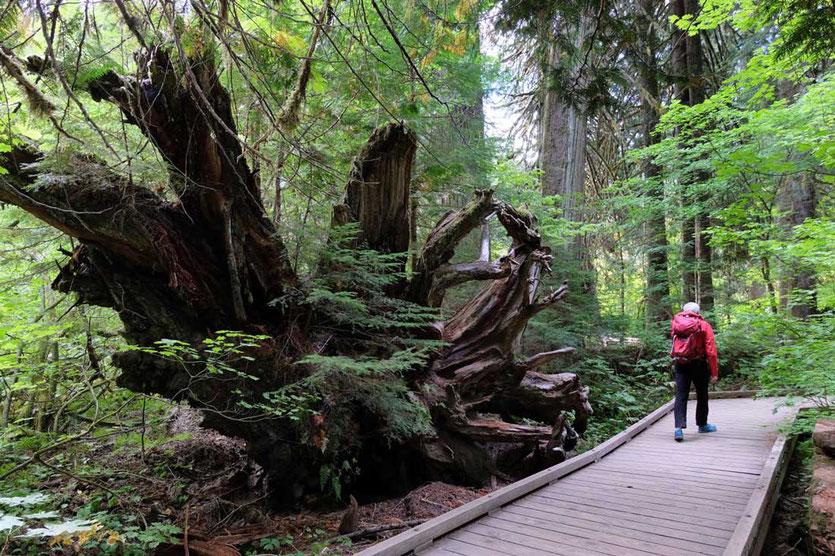 Auf dem Grove of the Patriarchs Trail - Mt. Rainier National Park