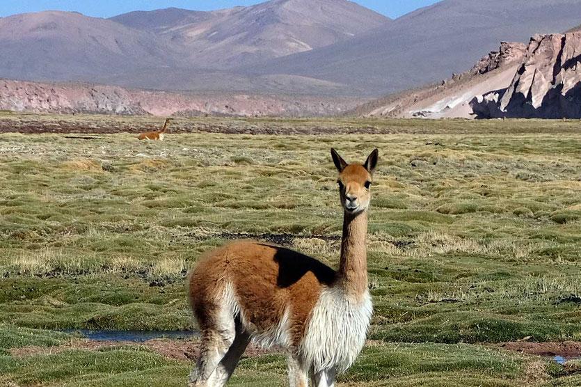 Vicunas im Altipano Reserva Nacional Las Vicuñas