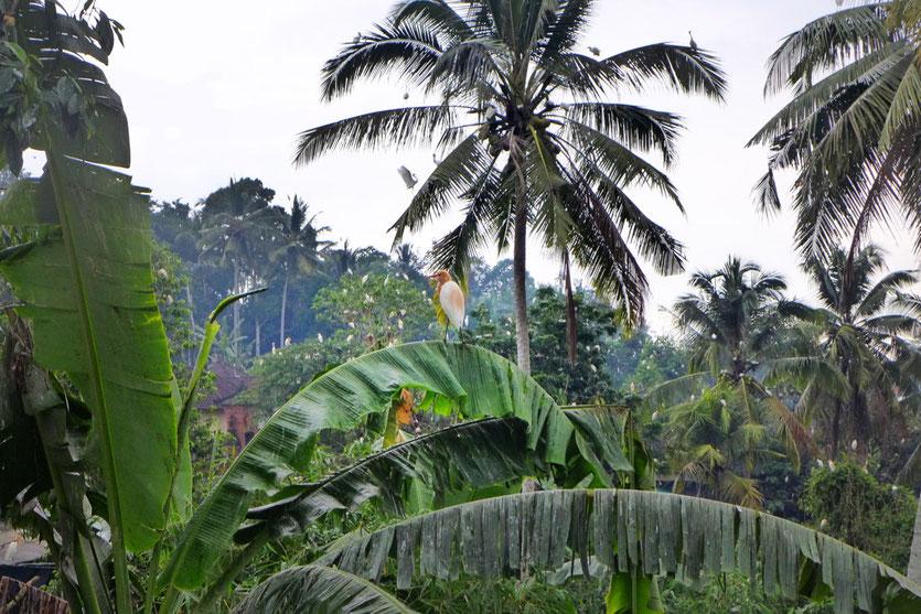 Reiher bei Ubud Ausflug Tipp