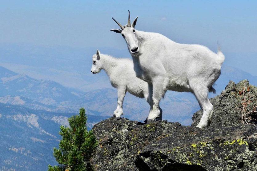 Mountain Goats im Mt. Rainier National Park