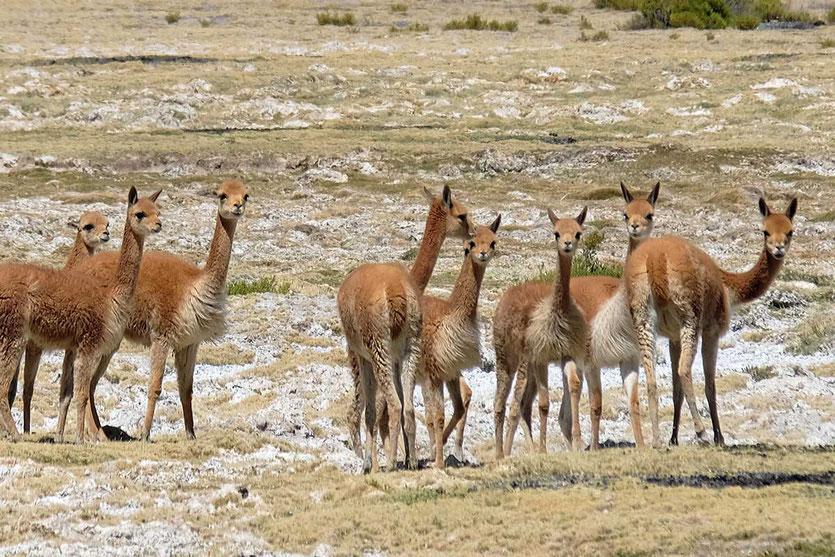 Vikunjas im Andenhochland Chile
