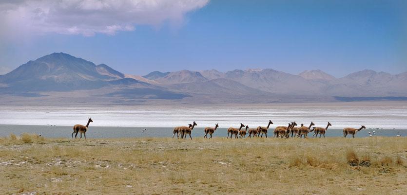 Salar de Surire Salzsee Vikunja Herde Chile