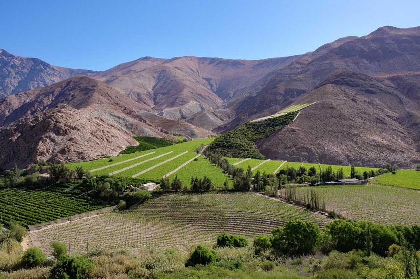 Pisco Weinberge im Valle del Elqui