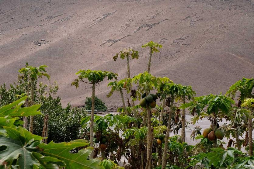Los Gigantes de Lluta Geoglyphen Arica Chile