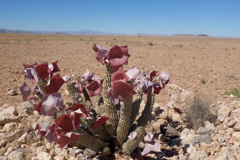 Namib Wüstenblume, Namibia