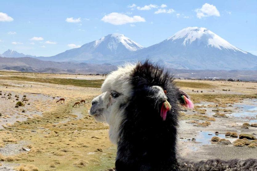Chile Altiplano Lama im Lauca NP