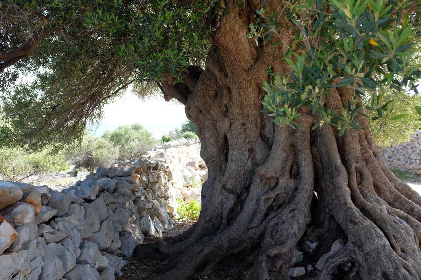 Alte Olivenbäume Lun Pag Insel Kroatien