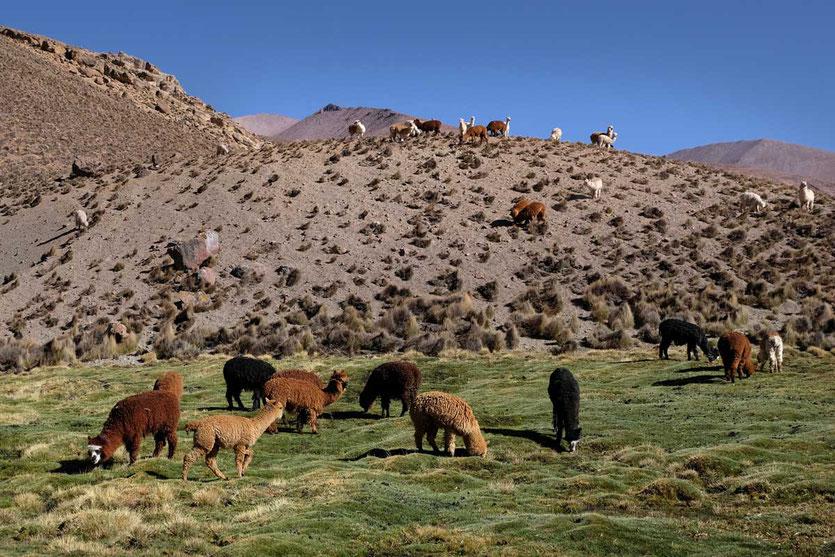 Alpakas im Bofedal de las Cuevas Chile Hochland