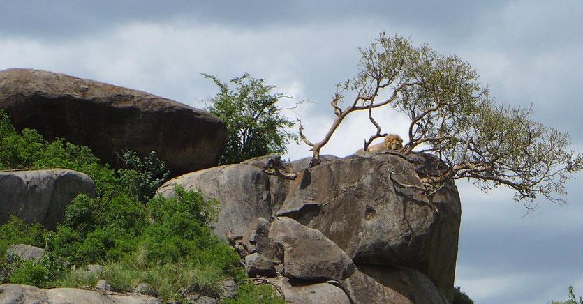 Kopjes Serengeti Tansania safari Lion