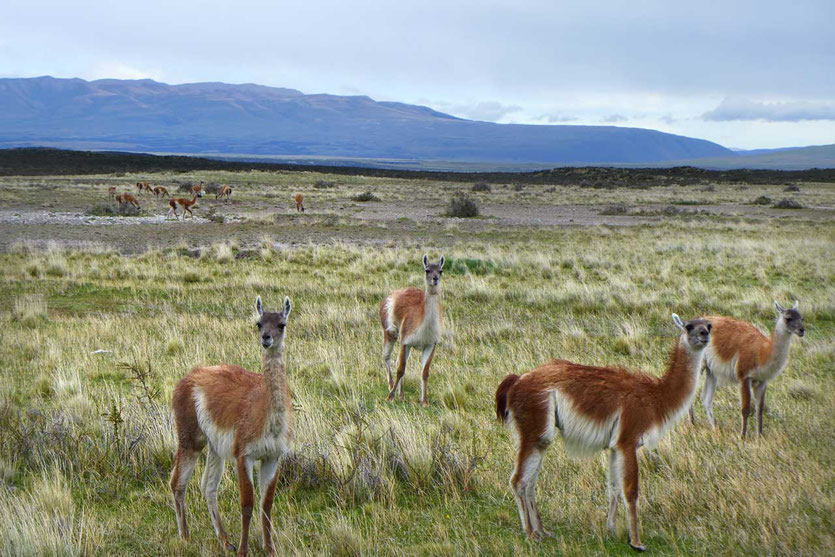 Guanakos im Torres del Paine