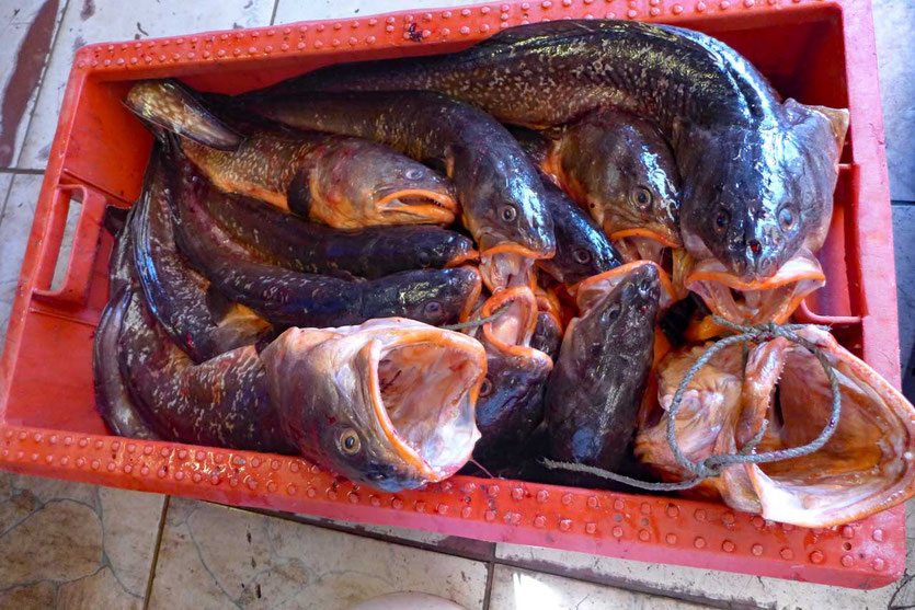 Fischmarkt von Coquimbo Congrio Seeal