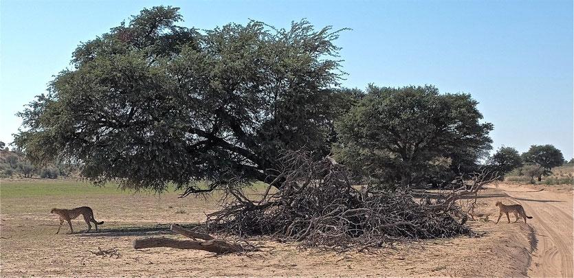 Geparde im Kgalagadi Transfrontier Park