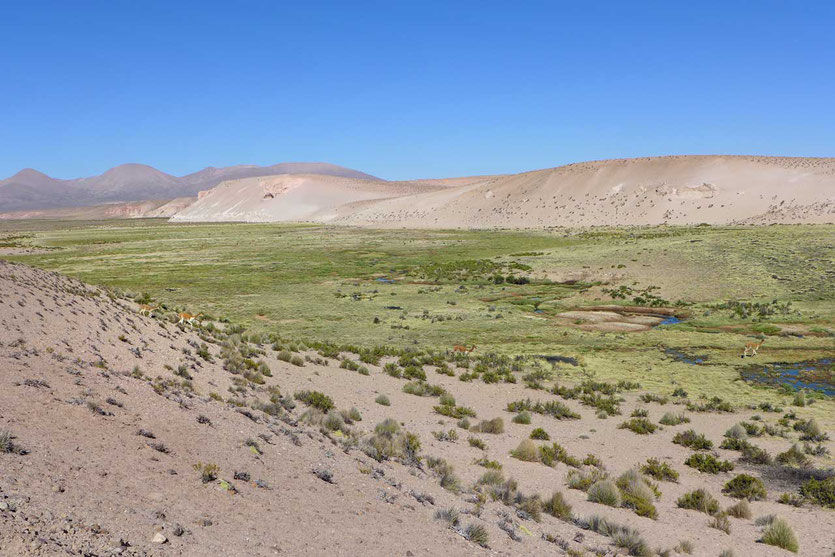 Reserva Nacional Las Vicuñas Altiplano Chile