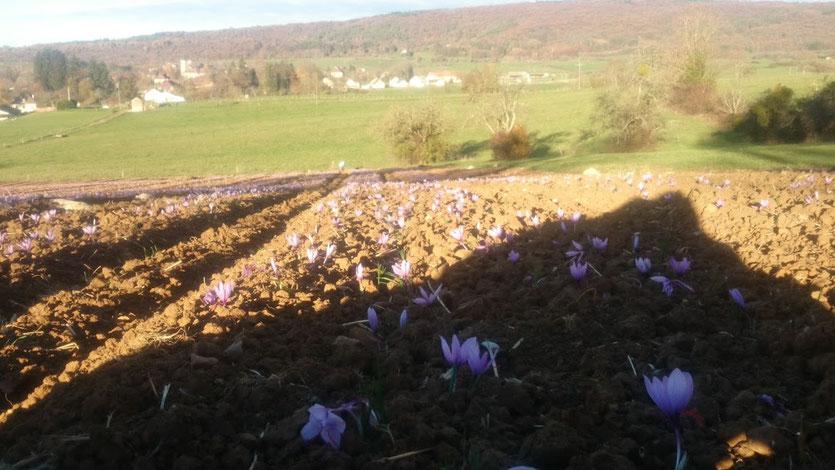 campo de flores de açafrão orgânico
