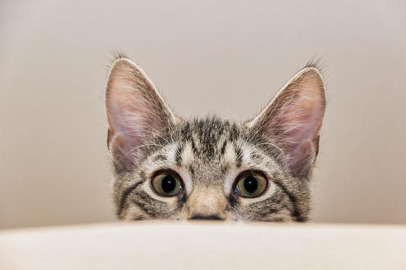 Katzenpsychologin: Laserpointer sind kein geeignetes Spielzeug für Katzen