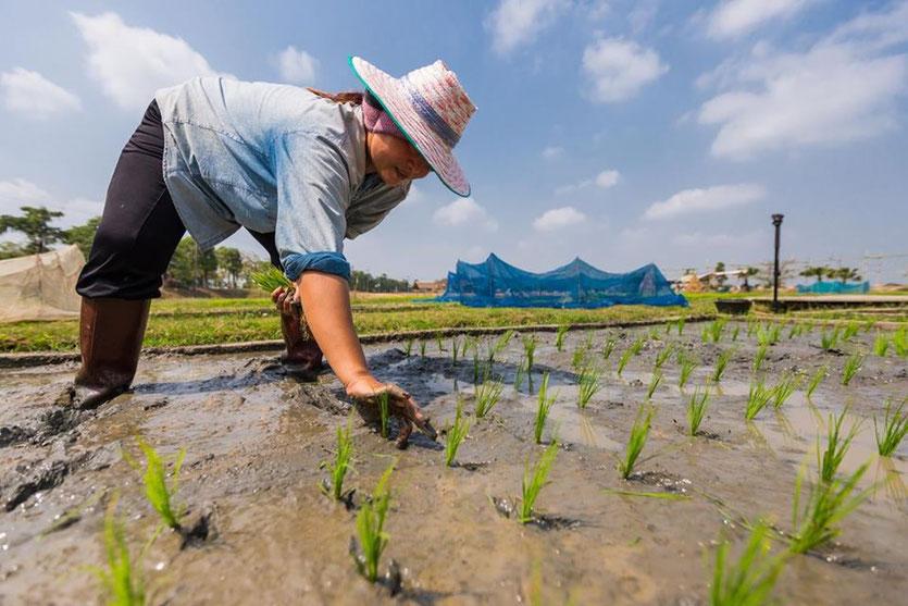 Ryžių sodintoja Tailande