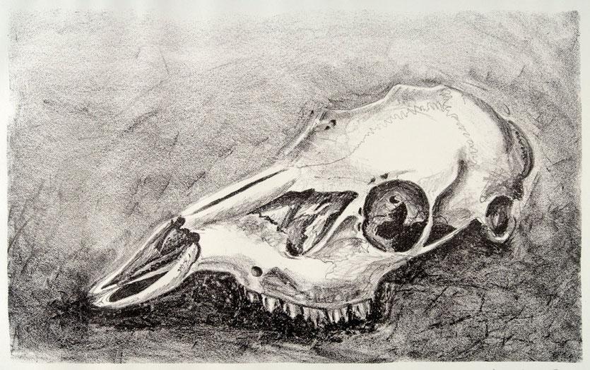 Calavera de ciervo 2007, litografía 38X56 cm