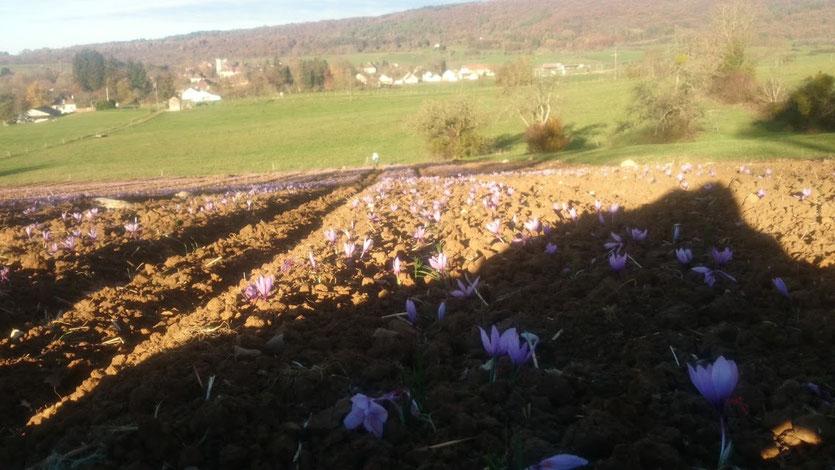 campo de azafrán plantado con flores rosas floreciendo