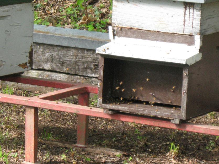 Arnia con api al lavoro