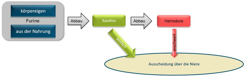 Grafik Abbau von Purinen über Xanthin zu Harnsäure
