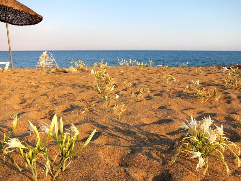 Blühender Çirali Strand, Lykische Küste Türkei