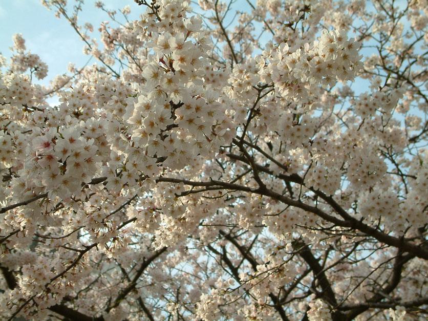 2009年4月5日 段葛の桜