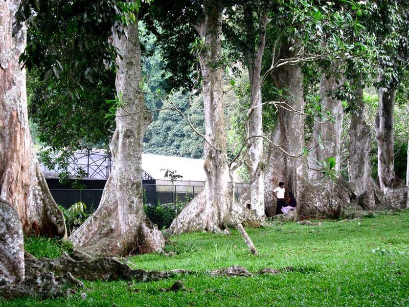 Trees Kandy Botanic Garden Peradeniya Sri Lanka