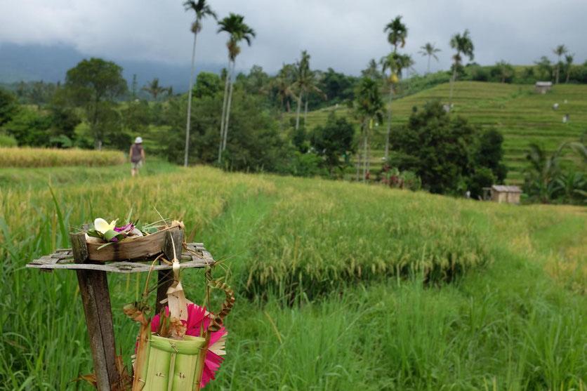 Wandern trekking Jatiluwih Rice terraces Bali