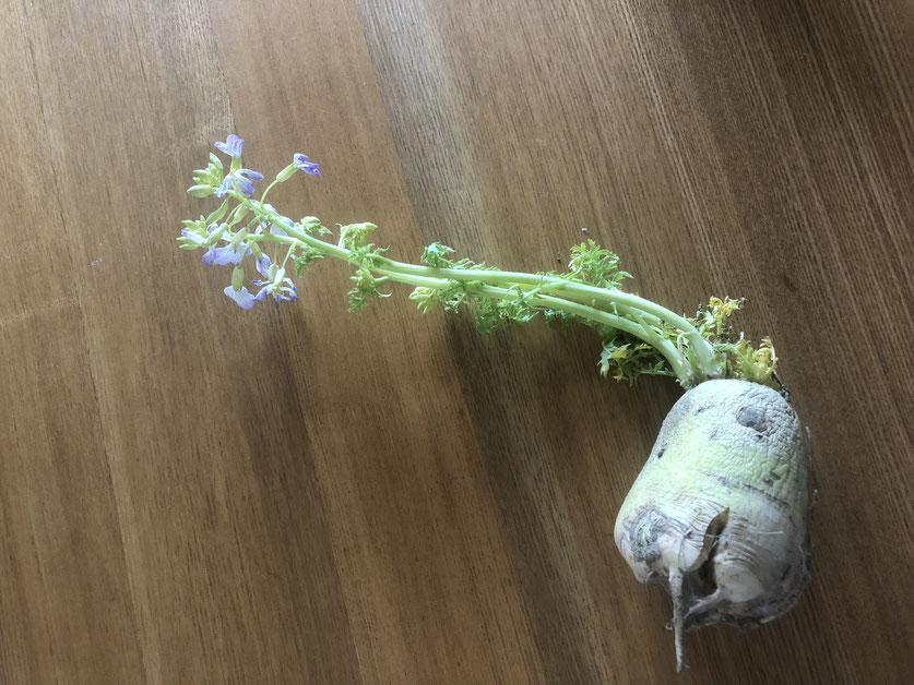 食べるのを忘れていた大根からいつの間にか芽が出て花が咲いてびっくり。春です。
