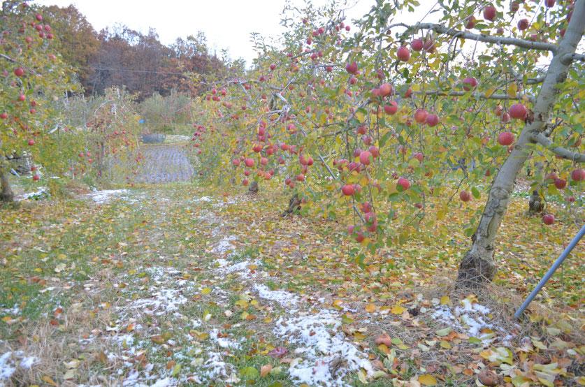 収穫最盛期のサンふじ畑にうっすら雪が舞い降りました
