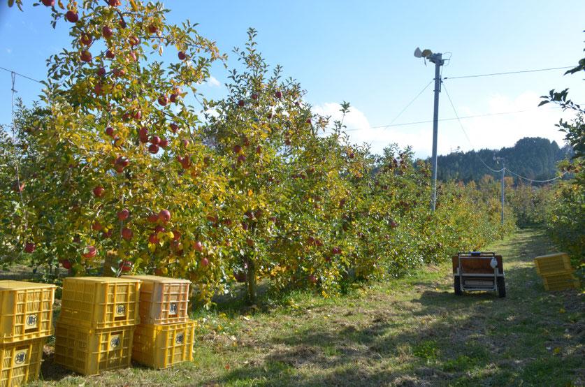 紅葉した葉と赤い果実のサンふじ
