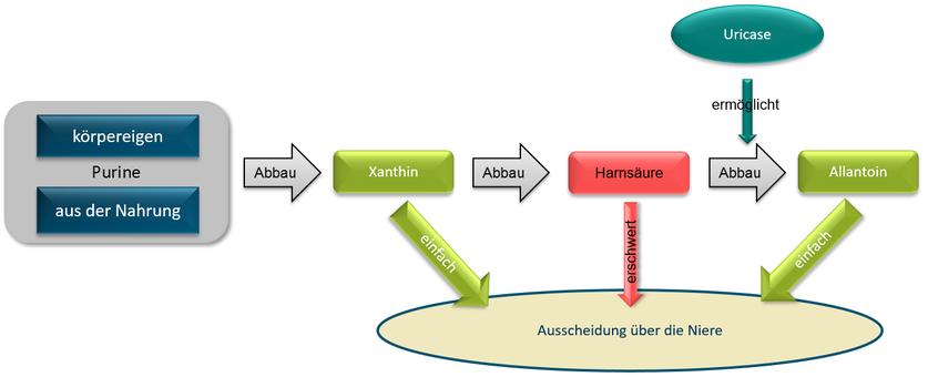 Abbau von Purinen über Xanthin und Harnsäure und dann unter Einwirkung von Uricase zu Allantoin