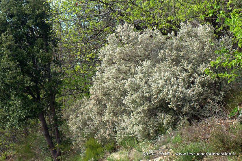 floraison de Erica arborea, bruyère arborescente en Cévennes