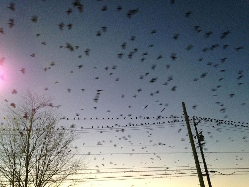 さらなる大群が飛来。ぎょえーと思いながらなんとか写真を撮りました。
