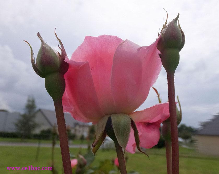 Et rose elle a vécu ce que vivent les roses, L'espace d'un matin.