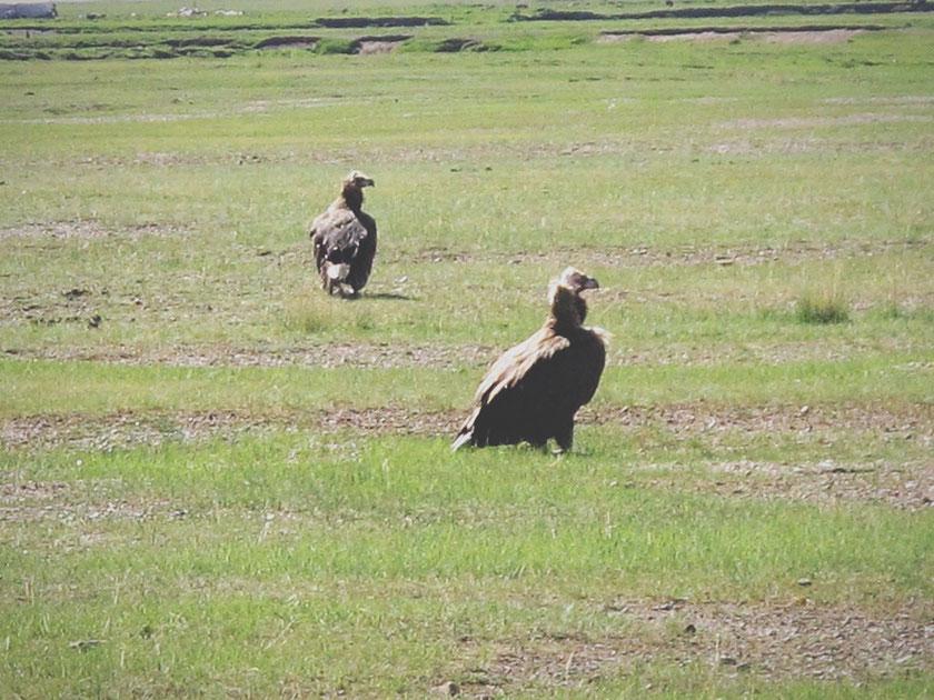 bigousteppes mongolie route steppes vautours