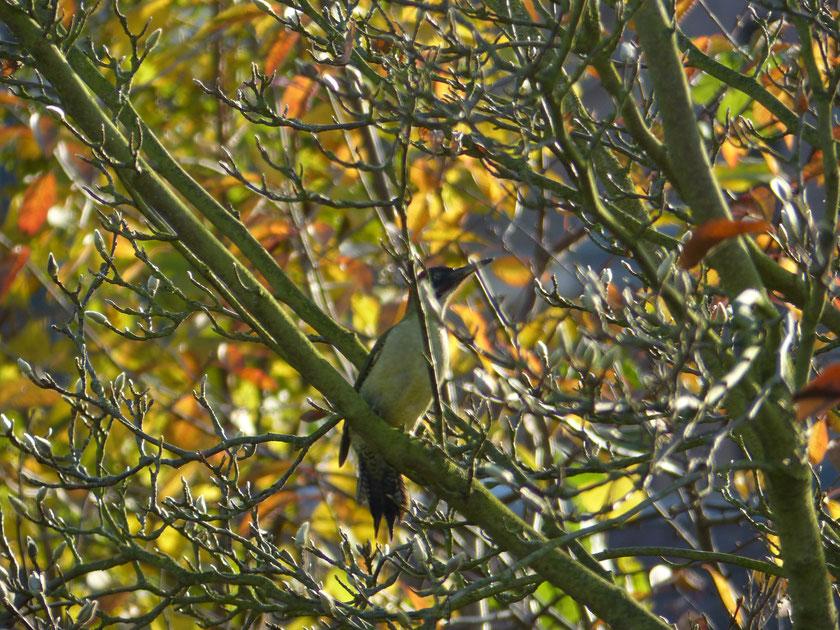 Heute, am 22.11.2014 bei mir im Garten, ein respektabler Grünspecht