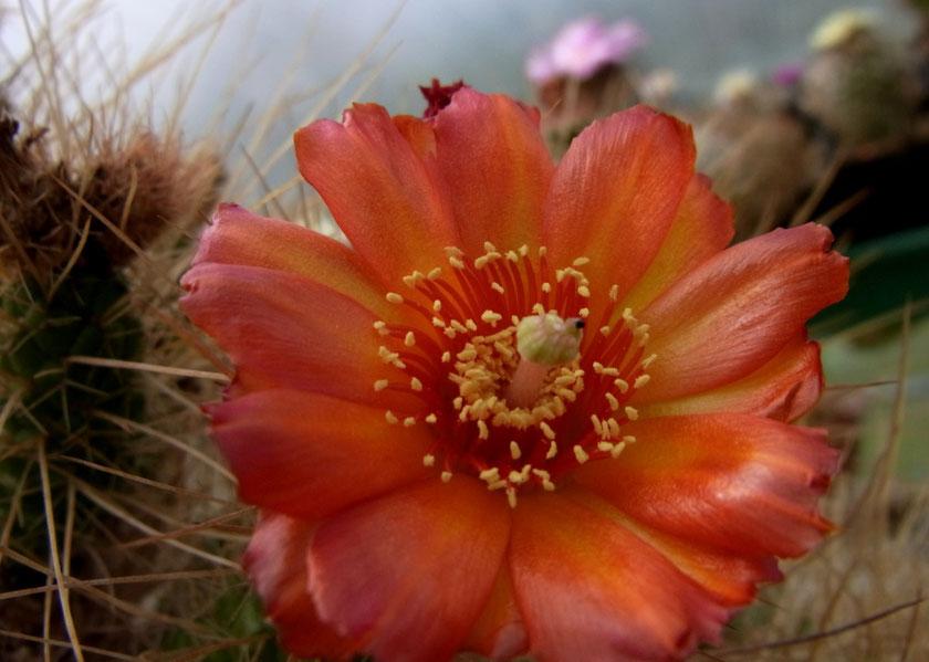 Tephrocactus weberbauri, rote Blüte
