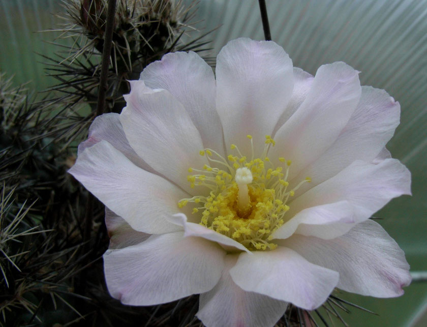 Tephrocactus alexanderi, Blüte